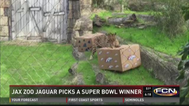 Jax zoo Jaguar picks a Super Bowl winner