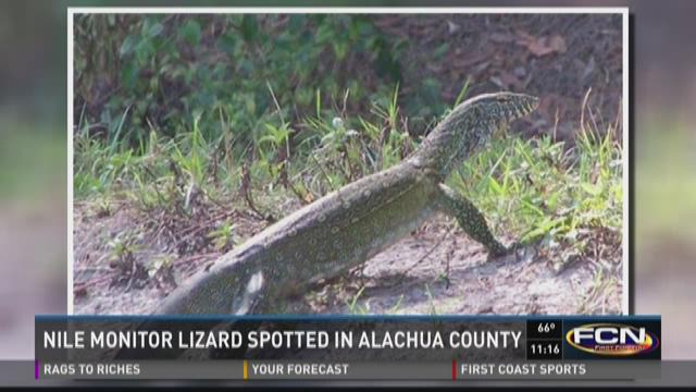 Sightings of the non-native Nile monitor lizard have