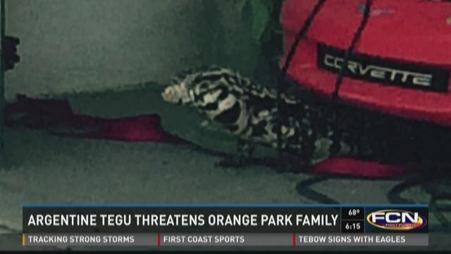 Tegu lizard spotted in Orange Park garage.