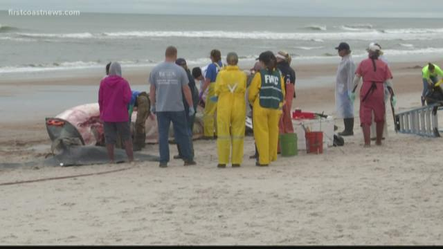 Endangered whale found dead near NC coast